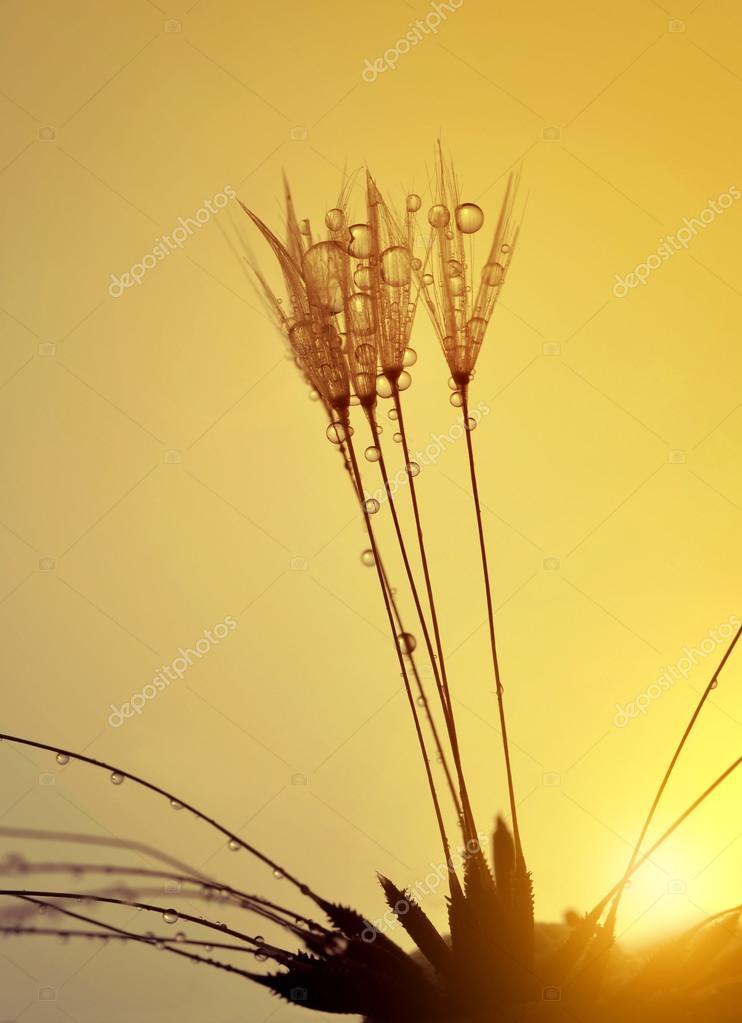 Dewy dandelion flower at sunrise