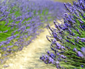 Levendula virág virágzó illatos mezők
