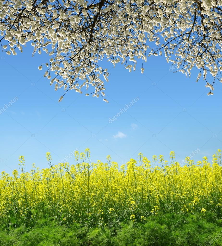 Фотообои Spring landscape with rapeseed field