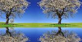 kvetoucí třešní na louce