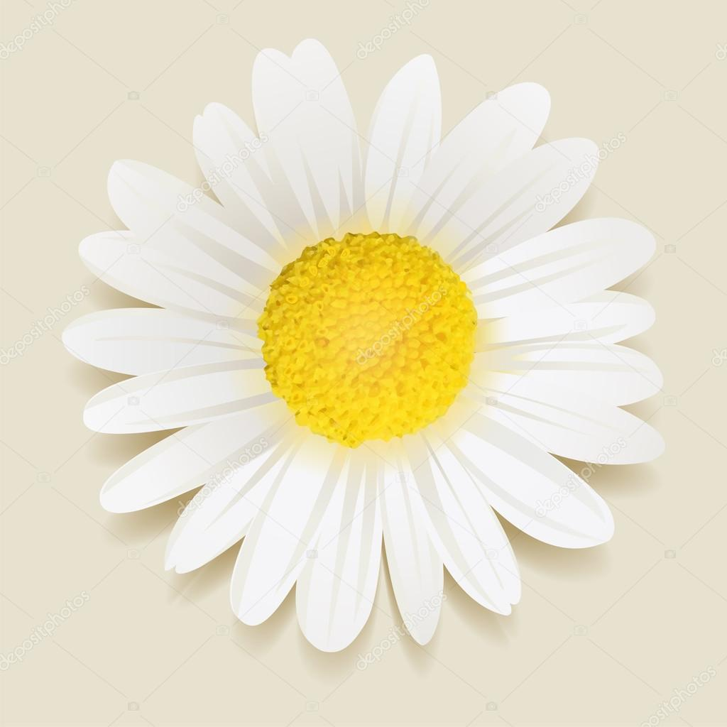 beautiful Daisy flower.