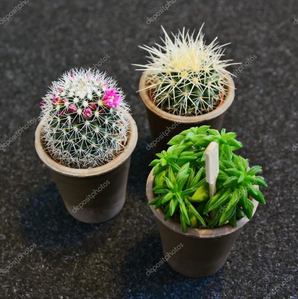 Miniaturowe Doniczki Z Kaktusów Zdjęcie Stockowe Hamikus