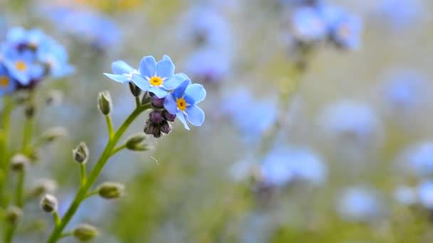 Zapomeň na mě není květ