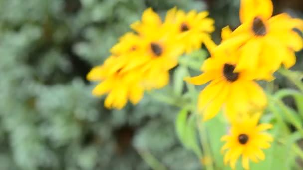 Žlutá Echinacea (Rudbeckia)