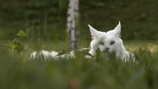 Biały Maine Coon Kot Kobiece Miejsc Na Trawie Wideo Stockowe