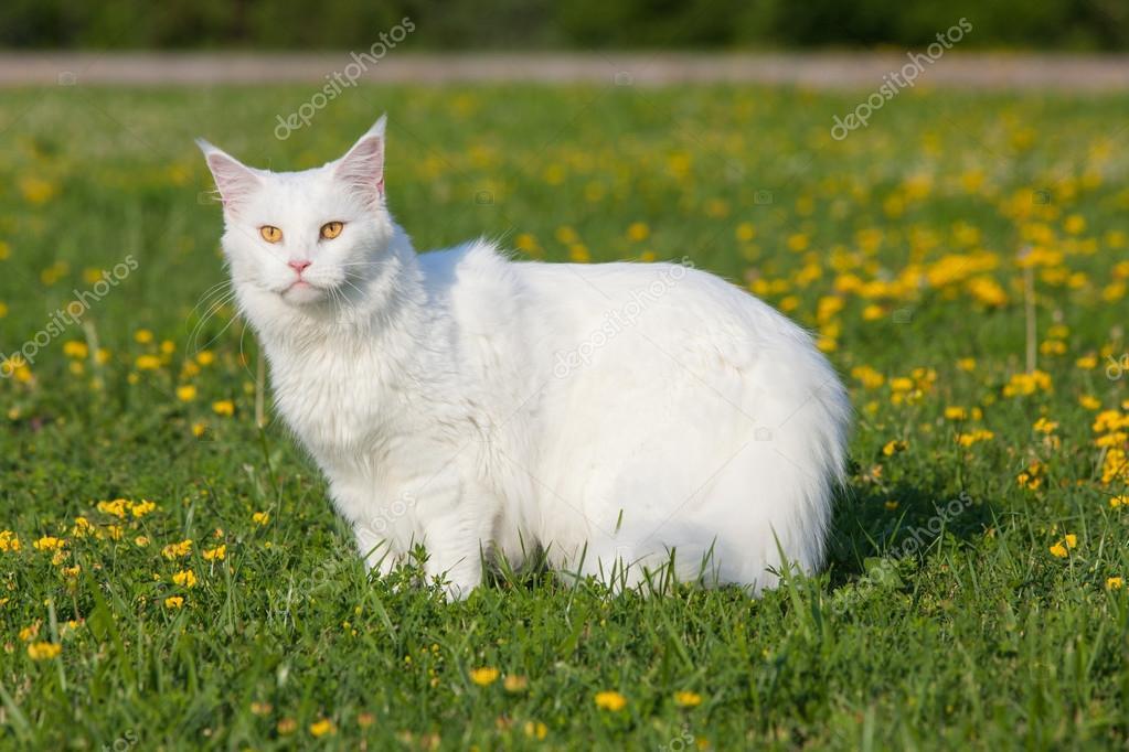 Biały Maine Coon Kot Miejsc Na Trawie Zdjęcie Stockowe Amvrosii