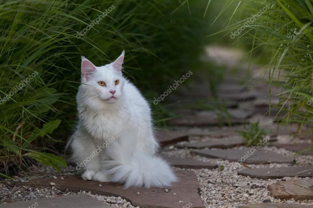 Biały Maine Coon Kot Miejsc Na Ziemi Zdjęcie Stockowe Amvrosii