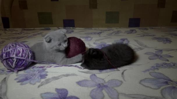 skotský fold mladých kittie hraje