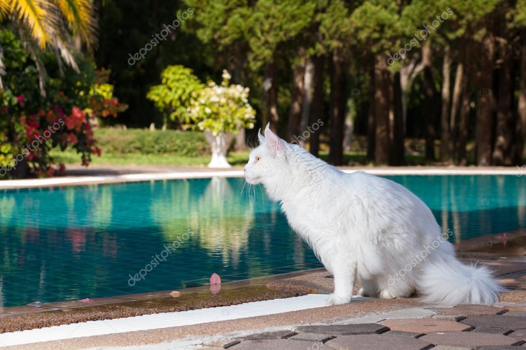 Maine Coon Kot Kobiece Miejsc W Pobliżu Basen Biały Zdjęcie