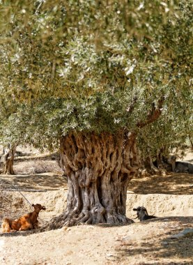 Goats in olive grove
