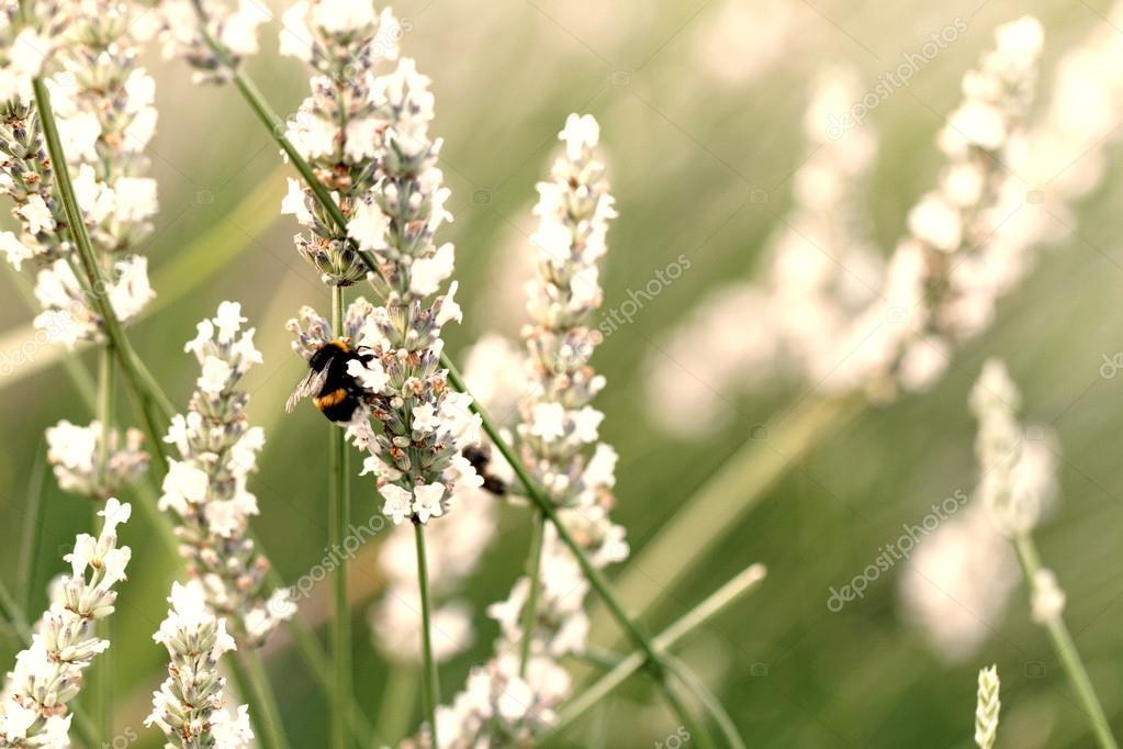 Champ de printemps avec des fleurs de lavande blanc \u2014 Image de Adrx