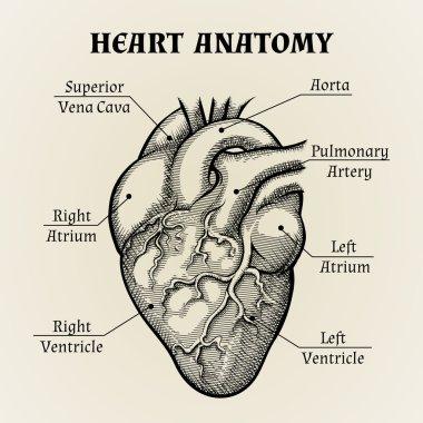 Black and White Heart Anatomy Graphic