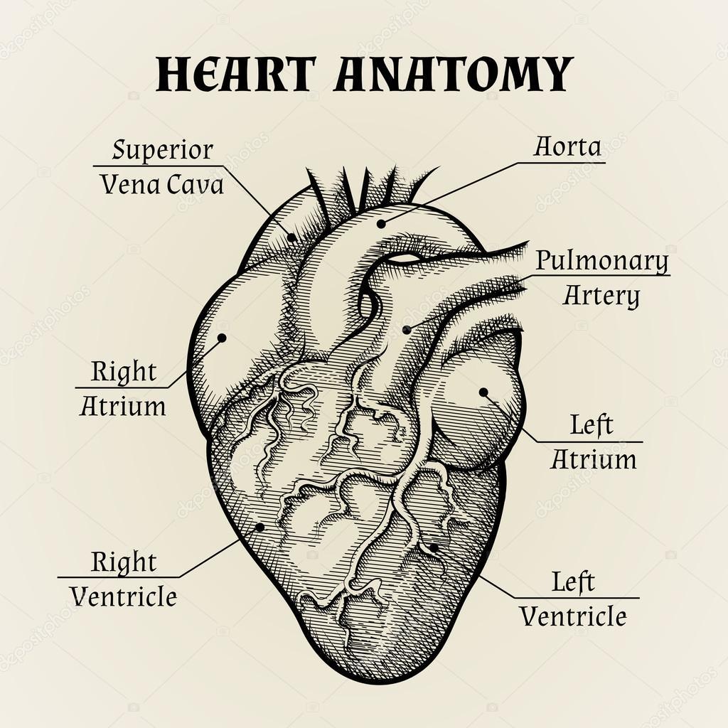 Zwart-wit hart anatomie afbeelding — Stockvector © MSSA #57132373