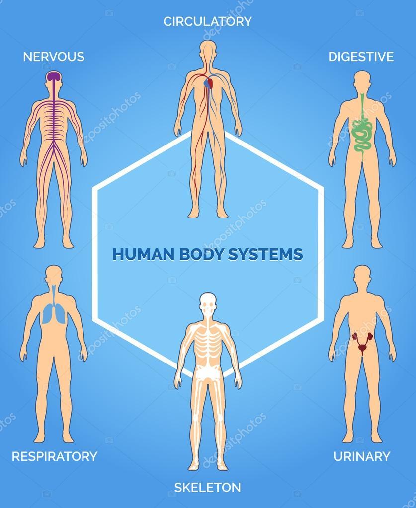 Vektor-menschlichen Körper-Systeme-illustration — Stockvektor © MSSA ...