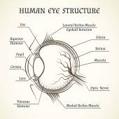 Fotografie Vector structure of the human eye
