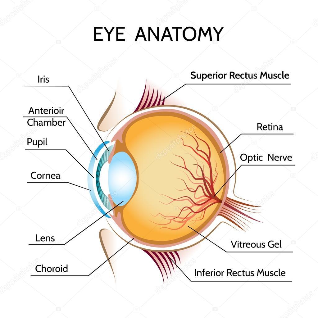Anatomía del ojo — Vector de stock © MSSA #79775388
