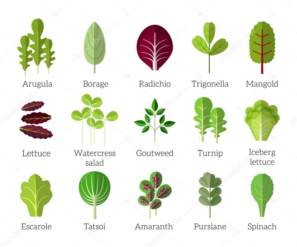 Salad ingredients. Leafy vegetables vector flat icons set