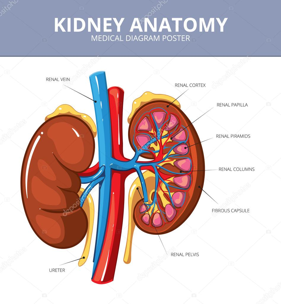 Kidney medical vector diagram poster vetor de stock mssa 93977430 kidney medical vector diagram poster vetor de stock ccuart Images