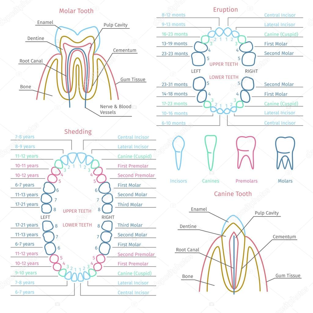Adult and baby tooth dental anatomy vector infographics vetor de adult and baby tooth dental anatomy infographics health medicine human healthcare vector illustration vetor por mssa ccuart Gallery