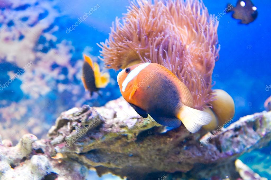 Close-up of clownfishes with corals in blue water