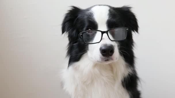 Vtipné studio portrét roztomilé usmívající se štěně hranice pes kolie izolované na bílém pozadí. Nový rozkošný rodinný pejsek zírající a čekající na odměnu. Péče o zvířata a zvířecí koncepce