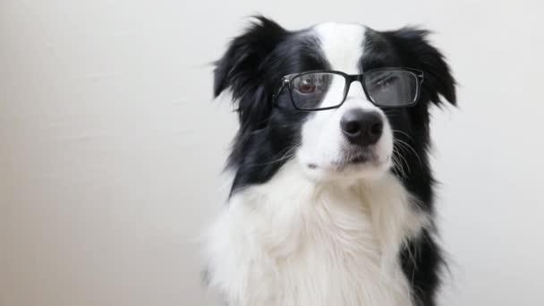 Vtipný studiový portrét usměvavé štěňátko ohraničující kolii v brýlích izolovaných na bílém pozadí. Malý pejsek zírá v brýlích. Zpátky do školy. Super šprtskej styl. Zábavná zvířata zvířata životní koncept
