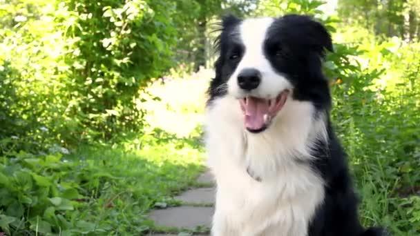 Außenporträt von niedlichen lächelnden Welpen Border Collie auf Gras sitzend, Park Hintergrund. Kleiner Hund mit lustigem Gesicht an sonnigen Sommertagen im Freien. Haustierpflege und lustiges Tierlebenskonzept