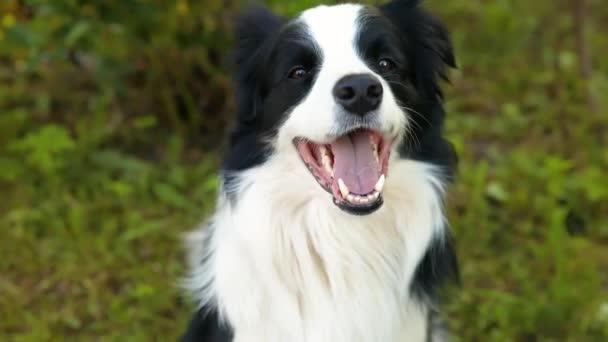Outdoor-Porträt von niedlichen lächelnden Welpen Border Collie sitzt auf Park Hintergrund. Kleiner Hund mit lustigem Gesicht an sonnigen Sommertagen im Freien. Haustierpflege und lustiges Tierlebenskonzept