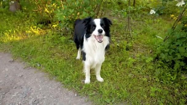 Outdoor-Porträt von niedlichen lächelnden Welpen Border Collie auf Park-Hintergrund. Kleiner Hund mit lustigem Gesicht an sonnigen Sommertagen im Freien. Haustierpflege und lustiges Tierlebenskonzept.