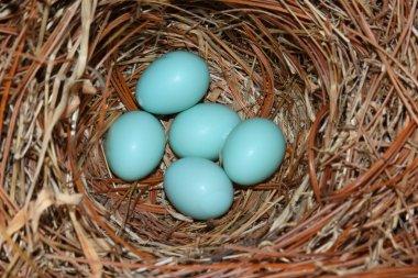 Eastern Bluebird (Sialia sialis) nest