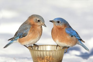 Pair of Bluebirds On A Feeder With Snow