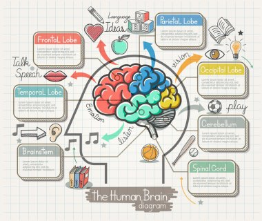 The Human Brain Diagram Doodles Icons Set. Vector Illustration.