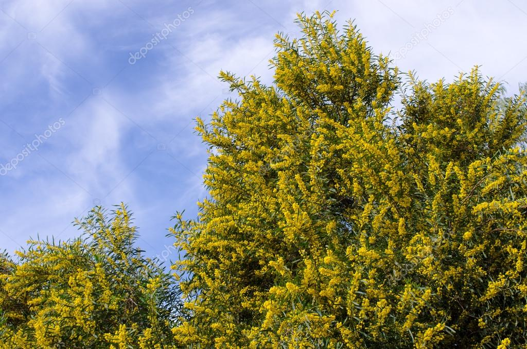 Yellow flowered tree morocco stock photo ccat82 119190738 yellow flowered tree morocco stock photo mightylinksfo Image collections