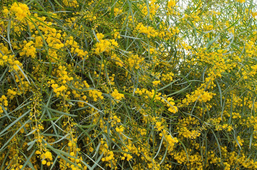 Yellow flowered tree, Morocco