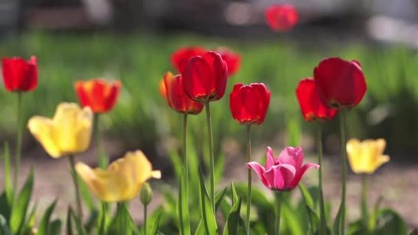 Červené tulipány vyrostou na zahradě
