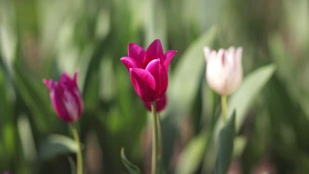 Lila tulipány vyrostou na zahradě