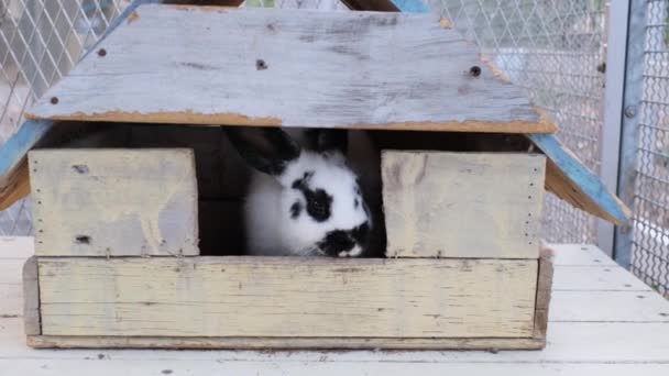 Close up one white and black dot rabbit stay inside retro wooden house by camera hand held