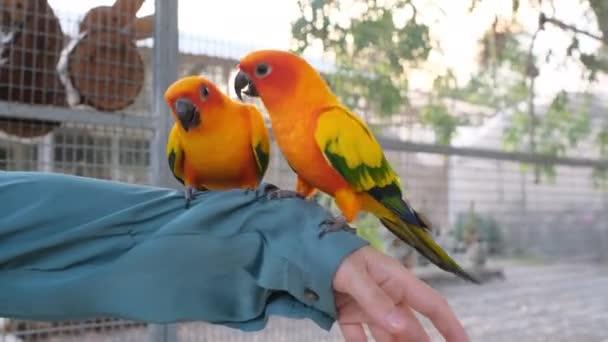 Két színes szerelmes madár sétál és csípi az inget a nő karján.