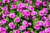 Impatiens růžové květy