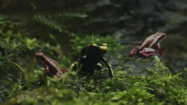 Tři malé jedovaté pozemní žáby