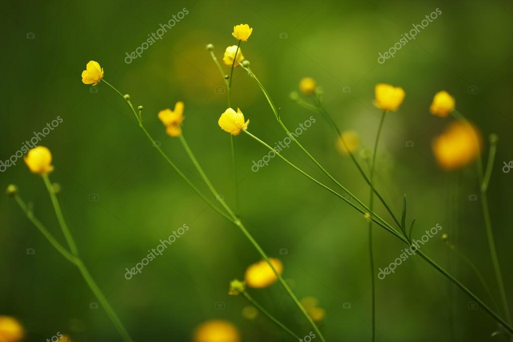 Small yellow wild flowers on long stalks stok foto dimedrol68 small yellow wild flowers on long stalks stok fotoraf mightylinksfo