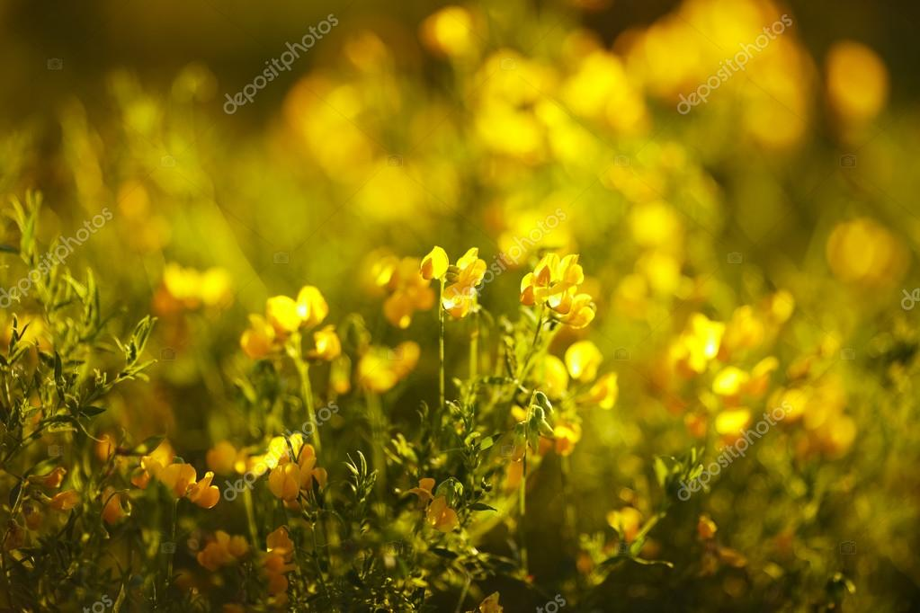 Yellow flowers in the evening sun rays