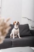 Jack Russell teriér na šedém gauči v moderním obývacím pokoji s rozmazaným popředím