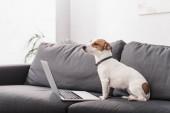 jack Russell teriér poblíž notebooku na šedém gauči v moderním obývacím pokoji