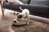 Jack Russell terrier szagló cipő a padlón