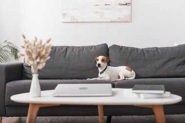 Jack russell terrier on grey couch near coffee table with laptop in modern living room stock vector