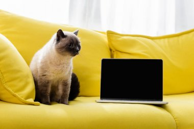 Cat sitting on yellow sofa near laptop with blank screen stock vector