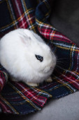 cute rabbit with black eye on checkered blanket