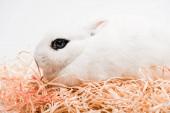 roztomilý králík s černým okem v hnízdě na bílém pozadí