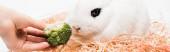 oříznutý pohled na ženu dávat brokolici roztomilému králíkovi v hnízdě na bílém pozadí, prapor